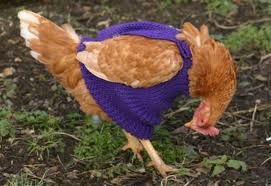 chickensweater2