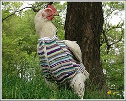 chickensweater4